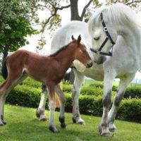 marrum-26-4-2009. freya met veulen dat 26-4-2009 geboren is. freya werd bekend als het witte paard op de bekroonde foto van paarden die in november 2006 op een dobbe stonden in het noarderleech. foto: bram buruma
